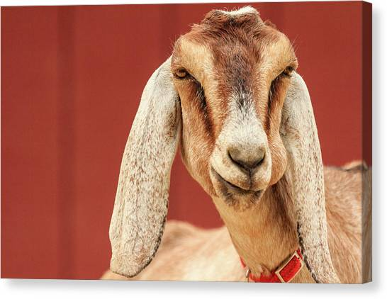 Goat With An Attitude Canvas Print