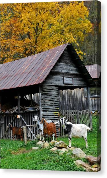 Goats At Rose Briar Farm Canvas Print by Alan Lenk