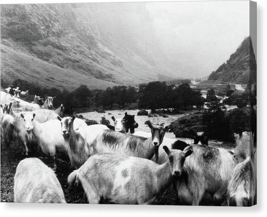 Goats Canvas Print - Goats In Norway- By Linda Woods by Linda Woods
