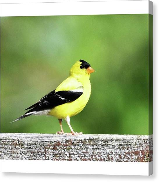 Finches Canvas Print - Gold Finches Are Such Bright, Happy by Stacie York
