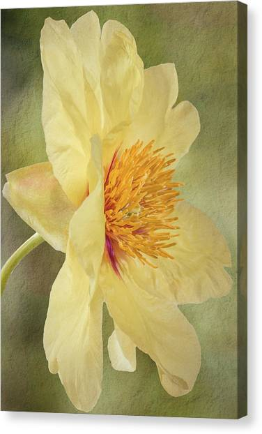 Golden Bowl Tree Peony Bloom - Profile Canvas Print