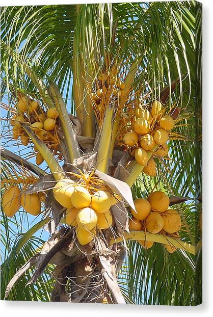 Golden Coconuts Key West Canvas Print