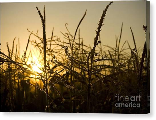 Golden Corn Canvas Print