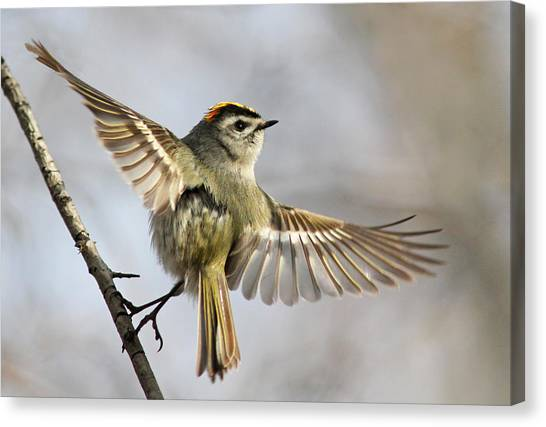 Winged Canvas Print - Golden-crowned-kinglet by Mircea Costina
