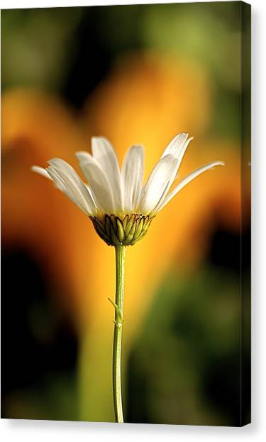 Golden Daisy Canvas Print