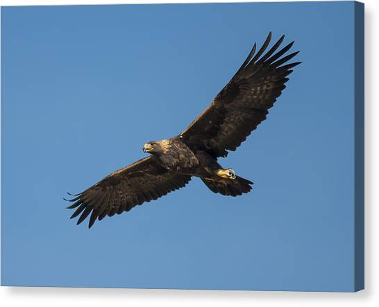 Golden Eagle In Flight Canvas Print