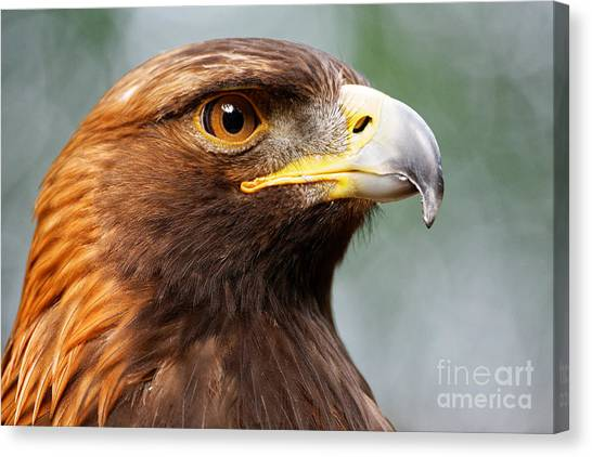 Golden Eagle Intensity Canvas Print