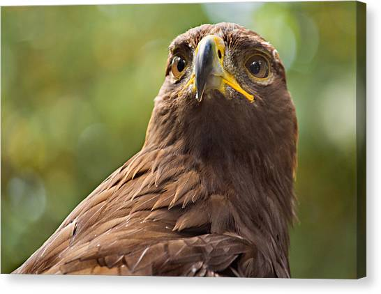 Golden Eagle Portrait Canvas Print by Peter J Sucy