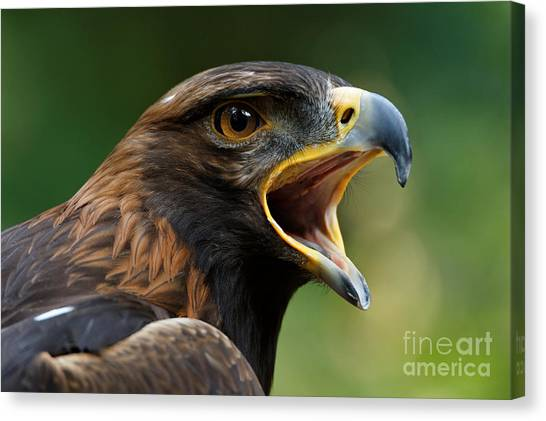 Golden Eagle - Raptor Calling Canvas Print