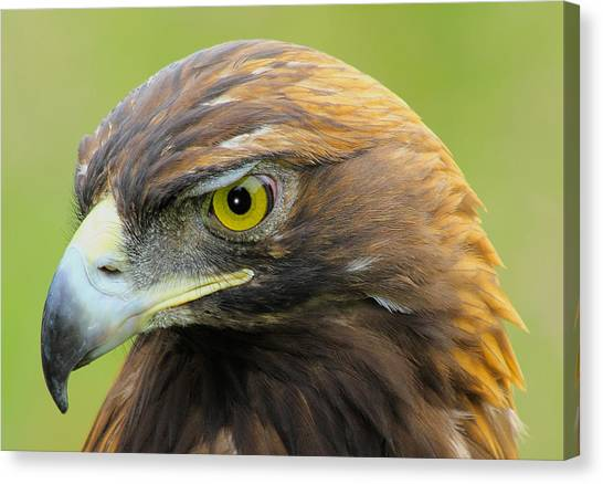 Golden Eagle Canvas Print