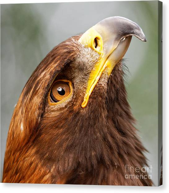 Golden Eagle - Sky Gazer Canvas Print