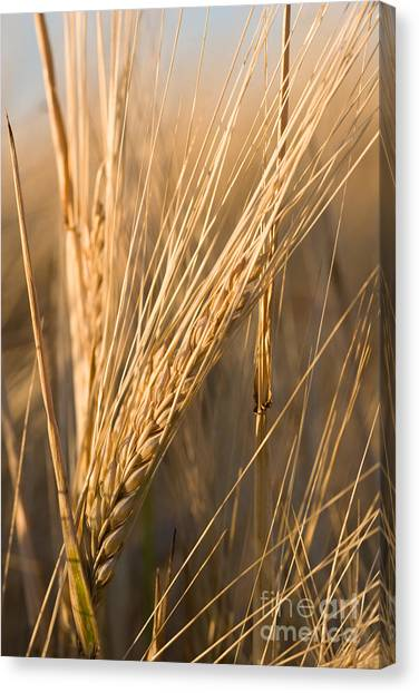 Golden Grain Canvas Print