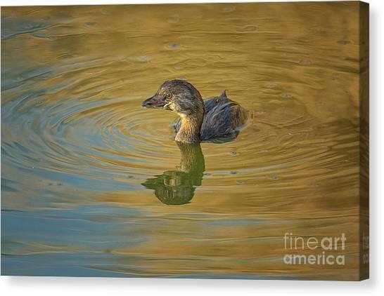 Golden Grebe Canvas Print