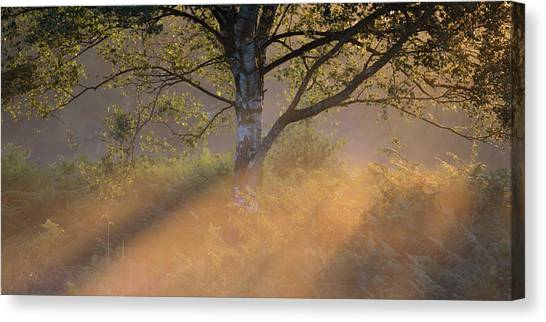 Sherwood Forest Canvas Print - Golden Greens by Chris Dale