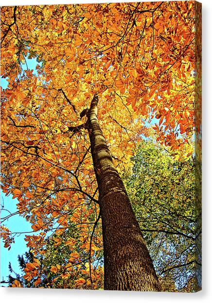 Canvas Print - Golden Hickory by Peg Runyan