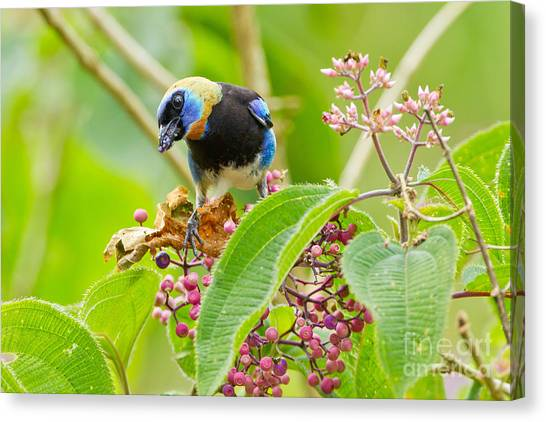 Arenal Volcano Canvas Print - Golden-hooded Tanager by B.G. Thomson