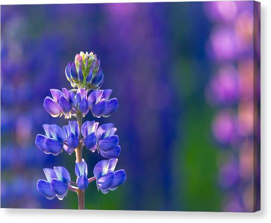 Golden Hour Lupine Canvas Print