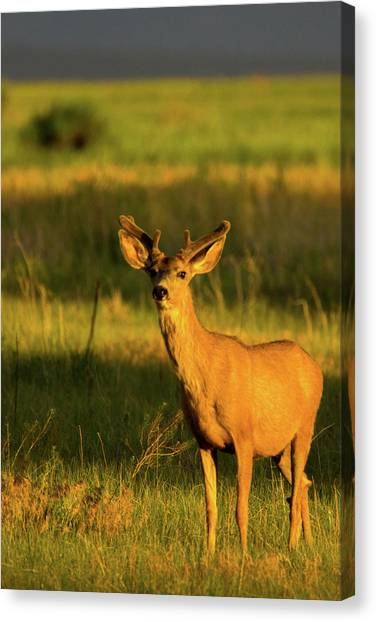 Golden Light Buck II Canvas Print