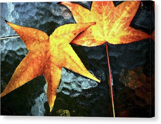 Golden Liquidambar Leaves Canvas Print