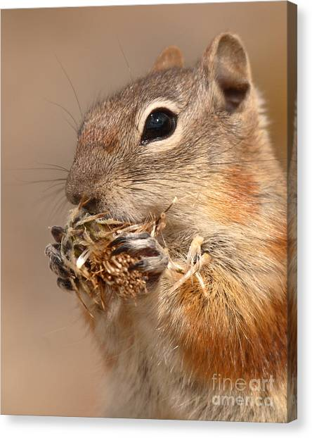 Golden-mantled Ground Squirrel Nibbling On A Bite Canvas Print