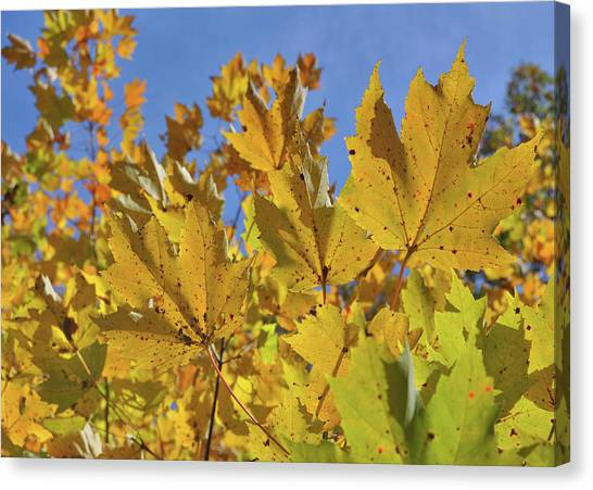 Golden Maple Canvas Print by JAMART Photography