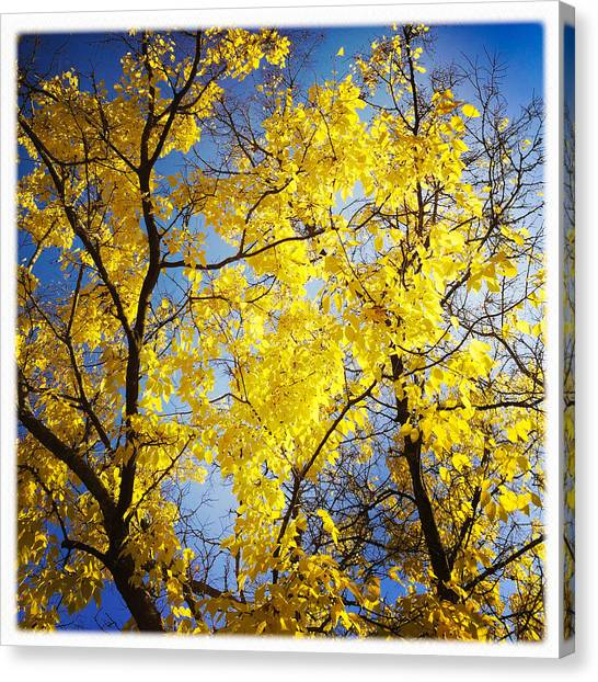Golden Canvas Print - Golden October Tree In Fall by Matthias Hauser
