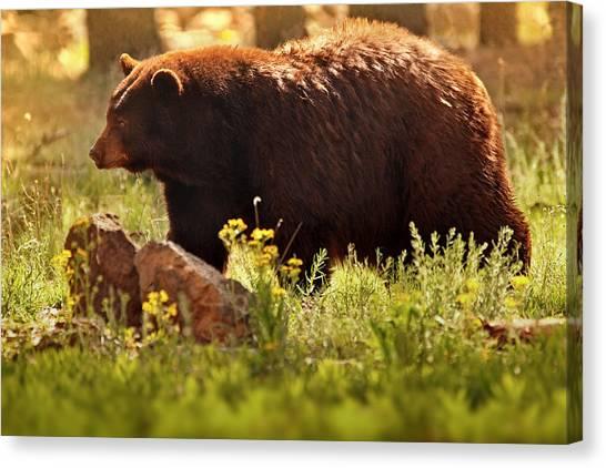 Brown Bears Canvas Print - Golden  by Rob Blair