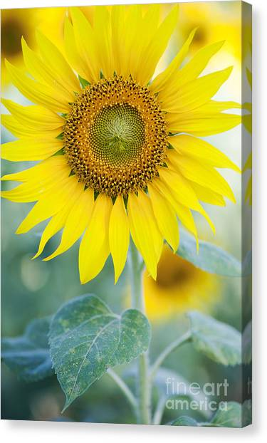 Sunflowers Canvas Print - Golden Sunflower by Tim Gainey