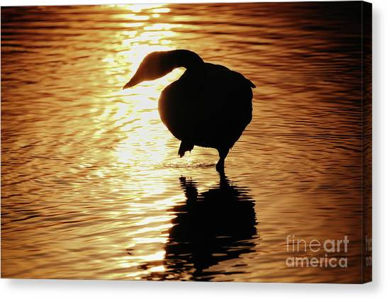 Golden Swan Canvas Print