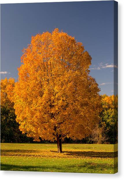 Golden Tree Of Autumn Canvas Print
