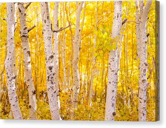 June Lake - Aspen Trees - Golden Trees Canvas Print