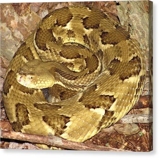 Timber Rattlesnakes Canvas Print - Golden Viper by Joshua Bales