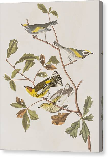 Warblers Canvas Print - Golden Winged Warbler Or Cape May Warbler by John James Audubon