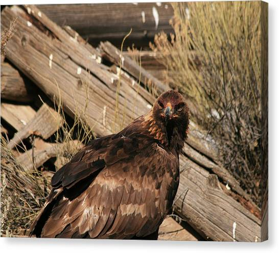 Goldeneagle1 Canvas Print