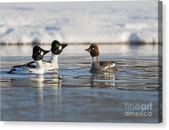 Goldeneye Canvas Print - Goldeneye Ducks In Courtship by Tim Grams