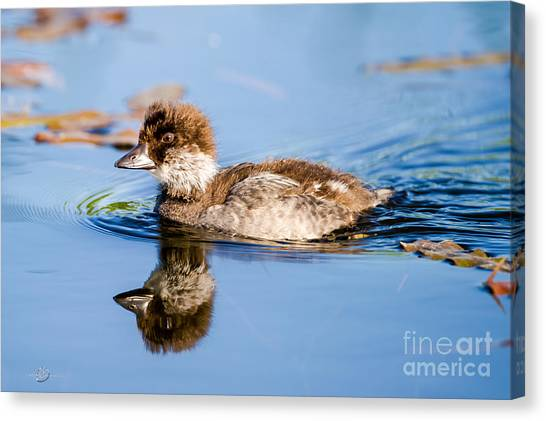 Goldeneye Canvas Print - Goldeneye Young by Torbjorn Swenelius