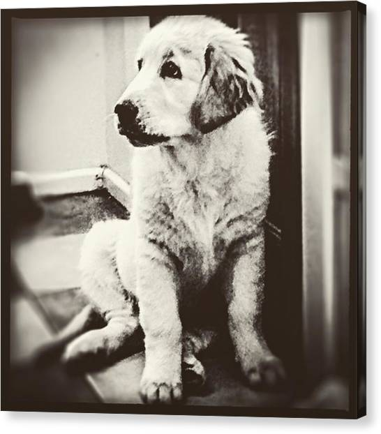 Bear Claws Canvas Print - #goldenretriever #dog #paws #puppy #fur by Sam Stratton