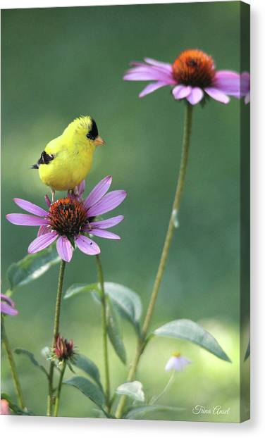 Goldfinch On A Coneflower Canvas Print