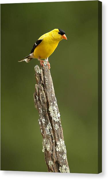 Goldfinch On Lichen Post Canvas Print by Alan Lenk