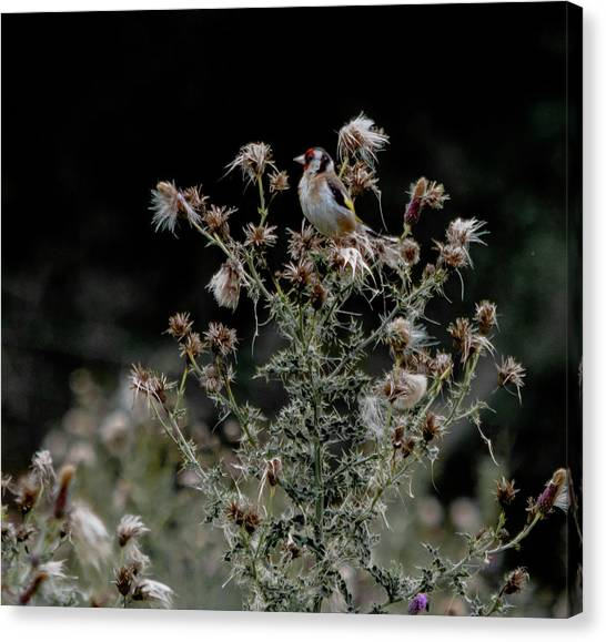 Canvas Print featuring the photograph Goldfinch Sitting On A Thistle by Scott Lyons