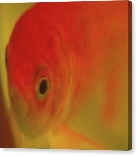 Fish Tanks Canvas Print - Goldfish Eyes Unfo This Goldfish Died by Emmanuel Varnas