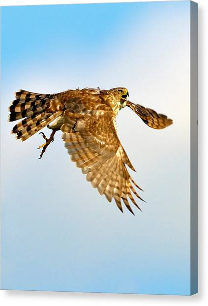 Good Hawk Hunting Canvas Print