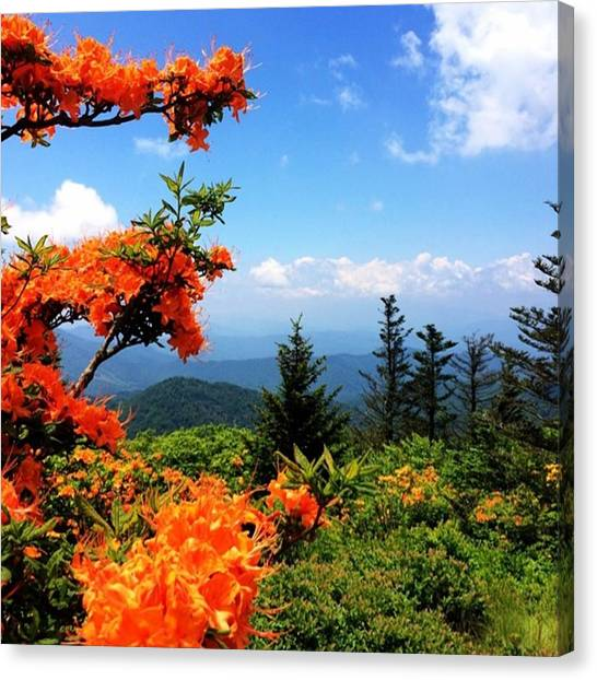 Appalachian Mountains Canvas Print - Flame Azaleas In Full Bloom by Jessica Overmier