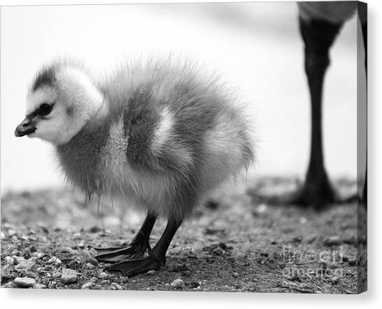 Goose Chick Canvas Print