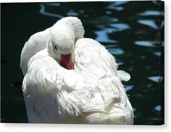 Goose Feather Siesta Canvas Print