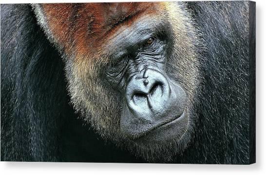 Orangutans Canvas Print - Gorilla by Maye Loeser