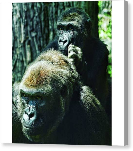 Gorillas Canvas Print - Gorillas Watching The Visitors At The by Untapped Travel