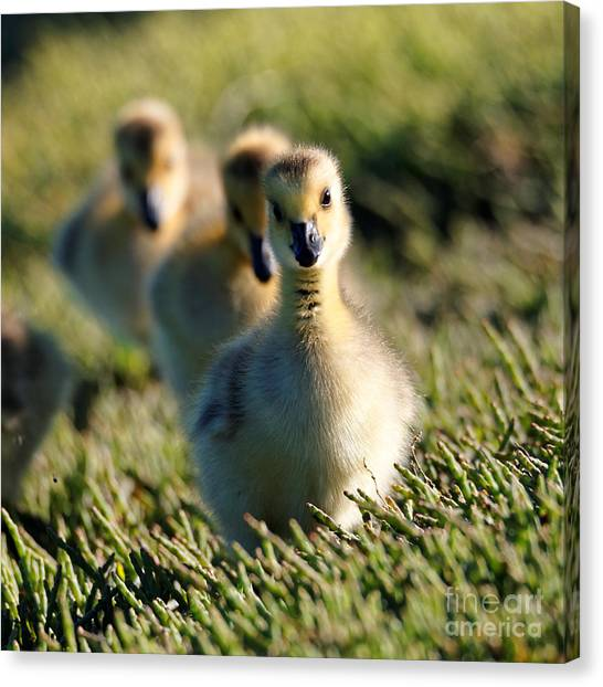 Gosling March Canvas Print