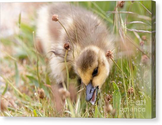 Gosling Nibble Canvas Print