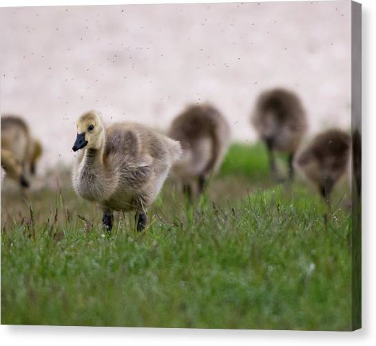 Gosling With Fleas Canvas Print